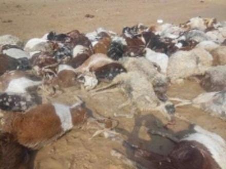 ۱۵۰ راس دام بر اثر سیلاب در دشت سوسن ایذه تلف شدند