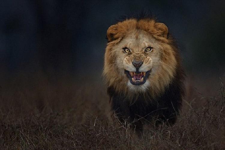 تصویر از شیر خشمگین دقیقا چند لحظه قبل از حمله به عکاس