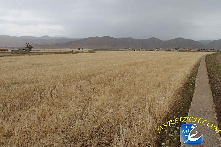 عکس/مزارع طلایی آماده برداشت ایذه