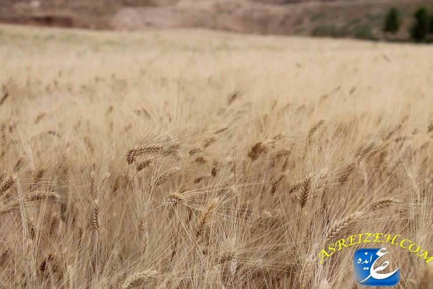 کار برداشت محصولات گندم و جو شهرستان رو به پایان است/ بارش های بهاره افت کیفیت محصولات دیم را به دنبال داشت