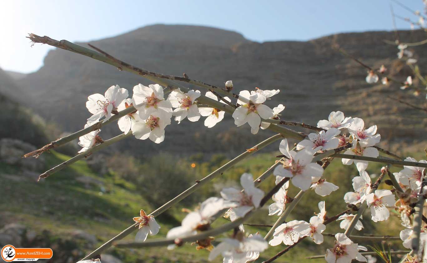 تصاویر زیبای شکوفه های بادام اشکفت سلمان ایذه
