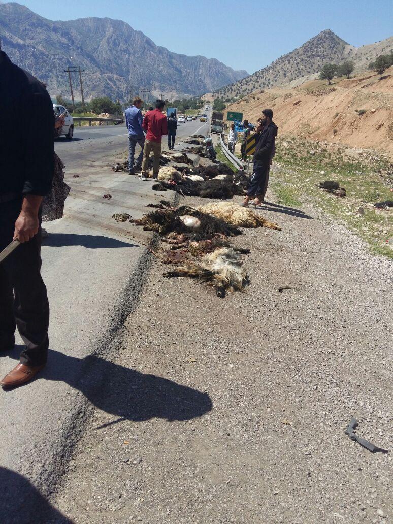 تلف شدن ۴۴ رأس دام عشایر بر اثر تصادف با کامیون + عکس