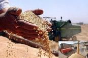 بیشترین میزان خرید تضمینی گندم کشور در استان خوزستان