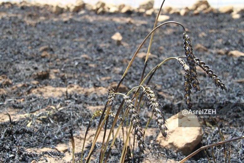 گزارش تصویری/ آتش سوزی کم سابقه مزارع گندم در ایذه