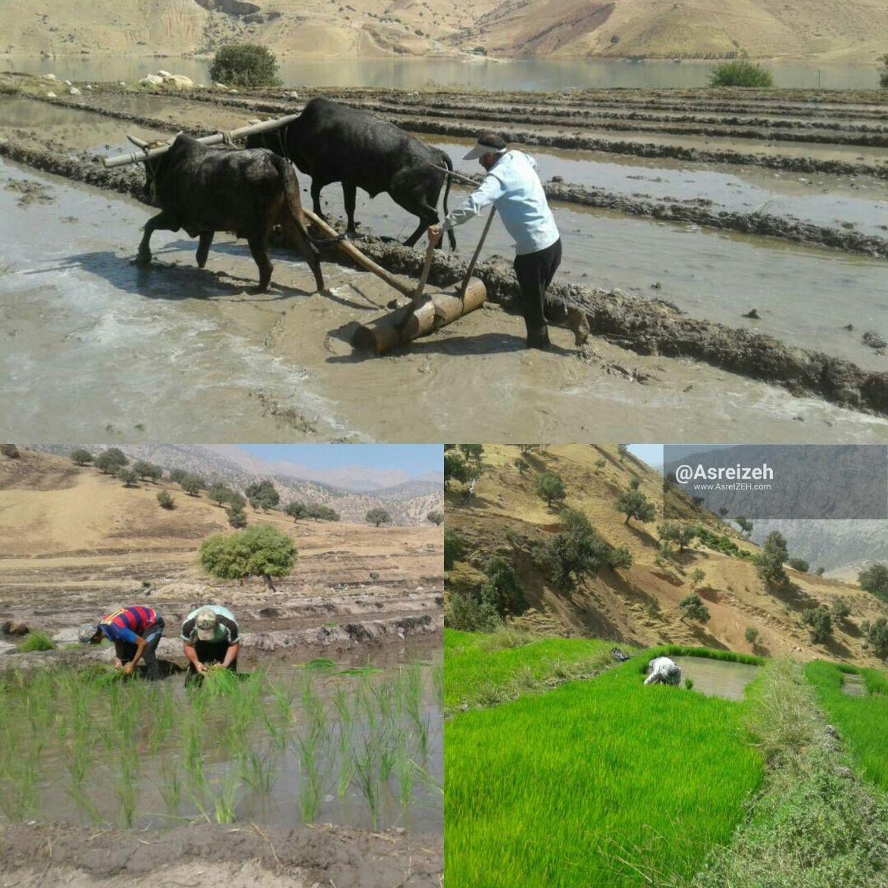 حدود ۳۰هکتار از اراضی حاصلخیز دهدز به زیر کشت برنج رفت