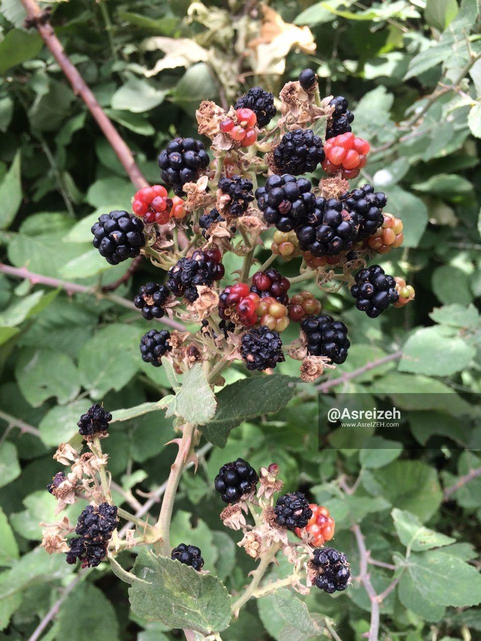 گزارش تصویری/ محصولات تابستانی باغات منطقه گردشگری شیوند