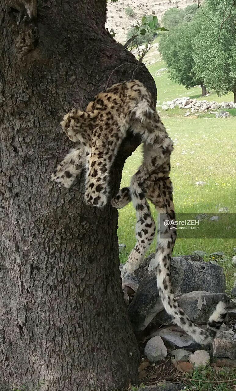 شکارچی پلنگ ایرانی در دهدز به دام افتاد