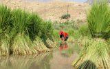 گزارش تصویری برنجکاری گسترده در بخش سوسن
